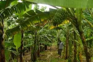 farmer in banana farm