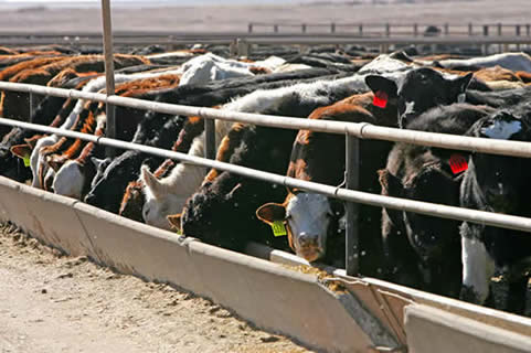 steers in feedlot