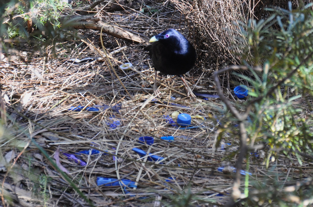 Male bird builds bower of blue objects