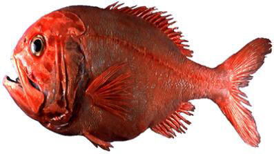 http://www.letsjumptogether.com/2009/09/orange-roughy-fish/