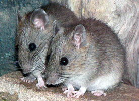 http://sydney.edu.au/science/biology/becr/research/sydney-bush-rat.shtml