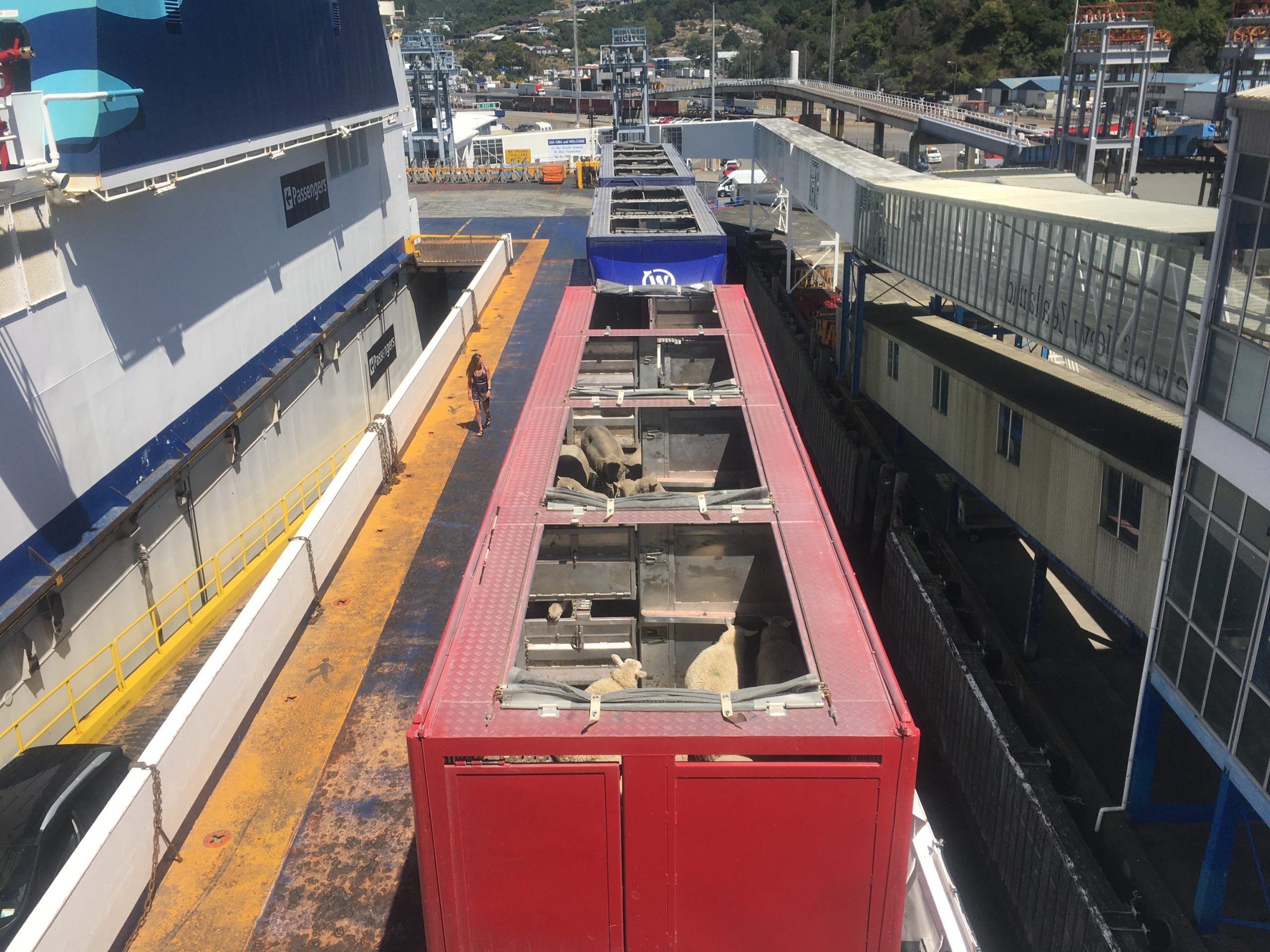 Livestock trucks on the InterIslander ferry. Where are the poor beasts going?